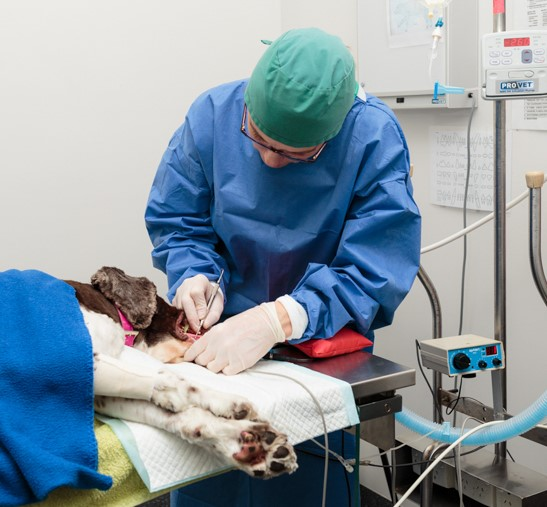 Monier Vet from Darra performing surgery on a dog